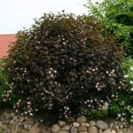 Листопадный кустарник Пузыреплодник: фото, выбор и посадка саженца, уход за растением и рекомендации по его выращиванию