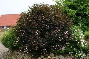 как выращивать Пузыреплодник в открытом грунте
