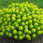 Эуфорбия или Молочай садовый многолетний: посадка и уход, сортовое разнообразие растения и его использование в ландшафтном дизайне сада