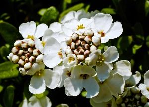 как выращивать многолетний Иберис