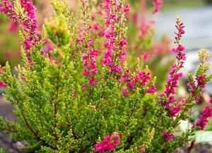 правила выращивания Вереска в саду