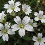 Почвопокровная культура Ясколка многолетняя: посадка и уход, фото изящного растения с длительным цветением и аккуратным видом