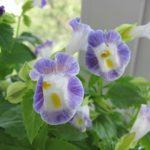 Яркое однолетнее растение Торения: выращивание из семян в домашних условиях, сроки высадки в открытый грунт и уход за цветочной культурой