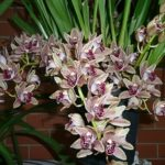 Растение с длинным цветоносом и крупными цветами Орхидея Цимбидиум: уход в домашних условиях, полив и влажность воздуха, освещение и другие аспекты выращивания