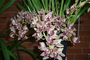 как выращивать Орхидею Цимбидиум