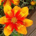 Ферулелистная череда или Биденс: уход и выращивание декоративной культуры с пышными яркими соцветиями в открытом грунте