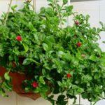 Вечнозеленый суккулент Аптения: уход и размножение, условия содержания растения для оптимального роста и развития