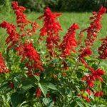 Декоративный шалфей или Сальвия: фото цветов и рассады, когда сажать и как ухаживать за цветущим растением