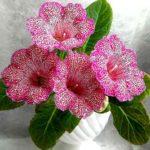 Традиционные и экзотические цветущие комнатные цветы: фото и названия, обзор популярных растений и общие правила выращивания