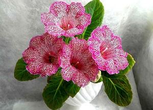перечень цветущих комнатных растений
