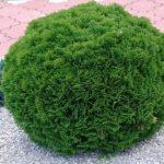 Вечнозеленый кустарник с мягкой хвоей Туя: посадка и уход в открытом грунте, использование в ландшафтном дизайне для создания живой изгороди и групповых композиций