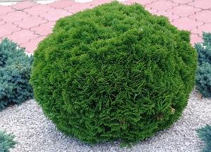 как выращивать Тую в открытом грунте
