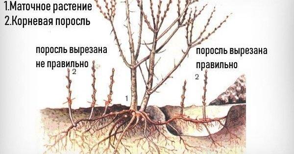 Миндаль посадка и уход в открытом грунте на урале