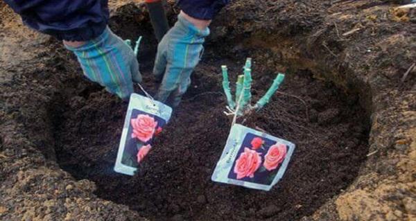 роза ред фейри почвопокровная