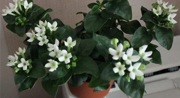 бувардия комнатные растения