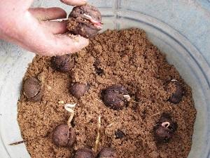 грецкий орех выращивание в домашних условиях