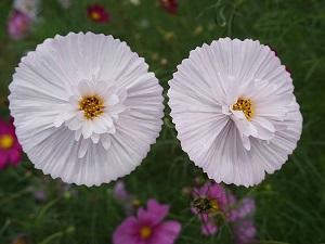 космея махровая фото цветов