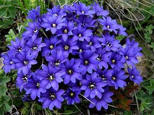 цветы горечавка