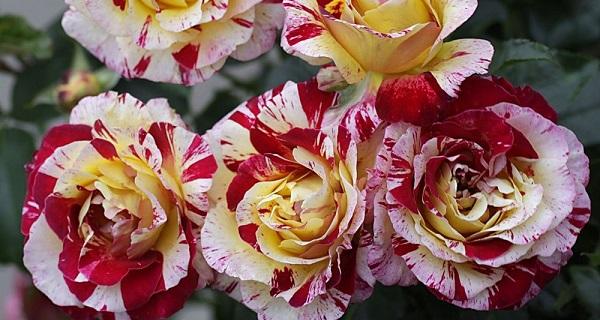 розы флорибунд