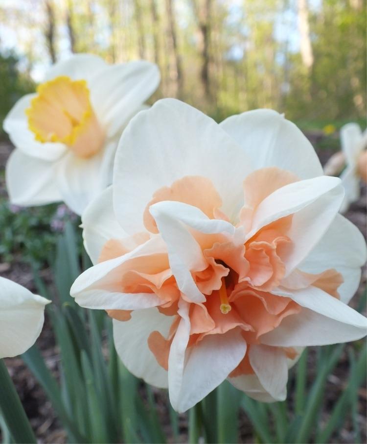 Нарцисс махровый