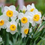 Цветение Нарцисса