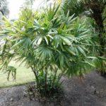 Пальма рапис: виды, фото, советы по уходу в домашних условиях
