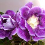 Глоксиния: сорта, фото, посадка и советы по выращиванию