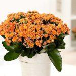 Каланхоэ цветение зимой: уход с домашних условиях, болезни, виды, фото