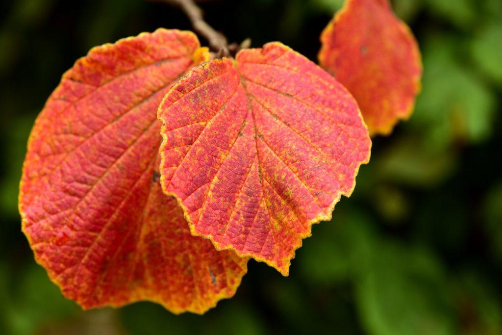 Листья орешника осенью