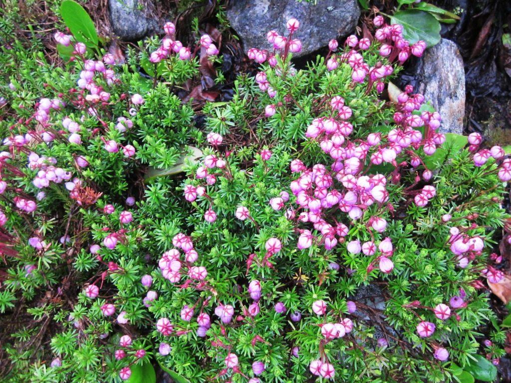 Цветение водяники