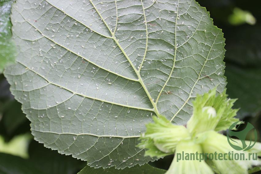 Тля на листьях орешника