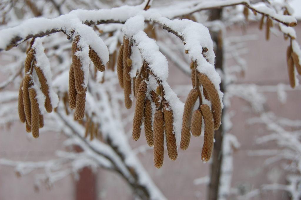 Зимовка лещины