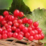 Калина: виды и сорта, посадка и уход, размножение