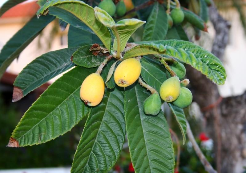 Мушмула фрукт