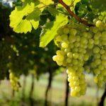 Виноград: посадка и уход, обрезка и размножение