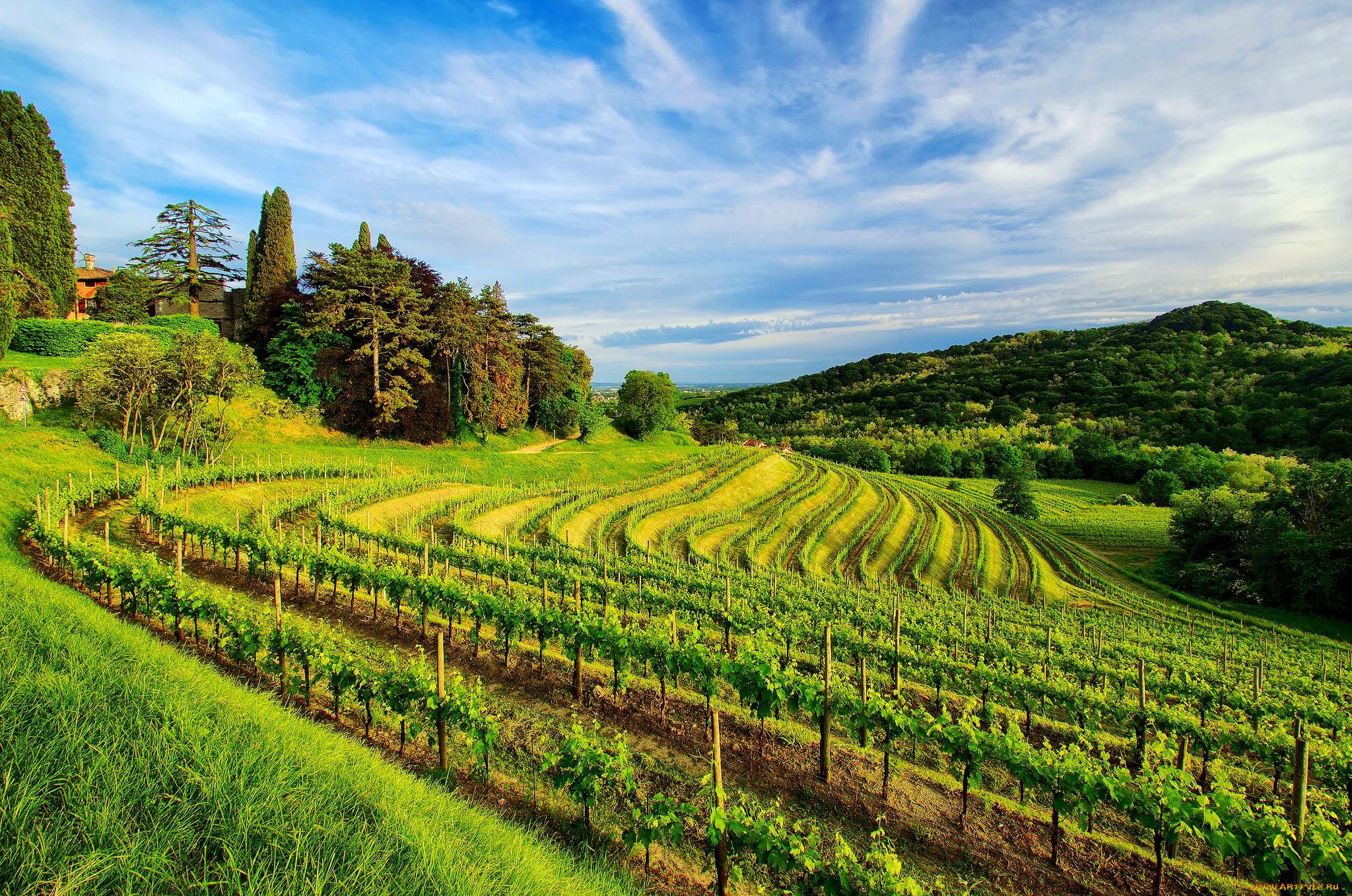 Виноградники