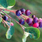 Ирга дерево: особенности, посадка, уход, виды, свойства