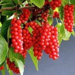 Лимонник растение: посадка, выращивание и уход